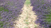 Straight rows of lavender plants. Field located in Provence region. Stock Footage