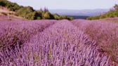 Sunset sky over a summer lavender field. Sunset over a violet lavender field in Provence, France.