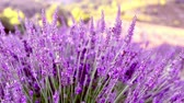 Lavender bushes closeup. Provence region of france.