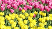 Spring backdrop of Tulip field. Close view of tulips on the field. Multi coloured tulips on nature background.