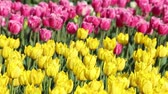 Close view of tulips on the field. Multi coloured tulips on nature background. Colorful blooming field in april.