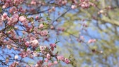 Spring background of Sakura tree. Petals and flowers sakura waving on wind. Beautiful cherry blossom sakura in spring time over blue sky. Stock Footage