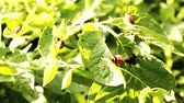 colorado potato beetle : Colorado beetle. Colorado potato beetle larvae. Harmful insects. Potato Pests.