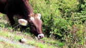 düve : One brown cow with visible ear identification tags grazing in mountain meadow. Beast eating green grass and herb at eco-friendly dairy in Alps. Heifer feeding on beef cattle farm. Beef cattle on ranch