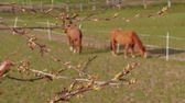 сельскохозяйственных животных : Maple burgeons on branch and brown grazing horses in farm paddock at spring day. Swelling of buds on tree and domestic animals on pastures. Frondescence, bud shooting. New beginning concept on ranch Стоковые видеозаписи