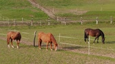 fence : Three grazing brown horses at fence in farm paddock at spring day. Horse eating green grass in country landscape. Horses grazed on meadow. Domestic animals running on pastures. Depasturing on ranch Stock Footage