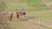 galope : Brown horses running near fence in farm paddock at spring day. Mating dance. Three horses on green grass in country landscape. Domestic animals walking on pastures grazed on ranch. Togetherness, calm Stock Footage