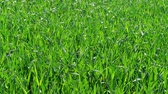 mısır tarlası : Green grass field at sunny windy spring day, nature background. Healthy lawn ground with young wheat under wind, closeup. Cereal plant, bread corn, rye, oat, rice. Landscape herbage. Garden in summer Stok Video