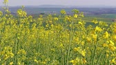 рапсовое : Flowering rapeseed canola field at spring day, country. Yellow colza flowers for bio fuel production. Oilseed rape for green energy and oil industry. Clean fuel concept. Eco rape seed blossom, breeze Стоковые видеозаписи