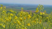 рапсовое : Closeup of flowering rapeseed canola field at spring day with country in background. Yellow colza flowers for bio fuel production. Oilseed rape for green energy and oil industry. Clean fuel concept