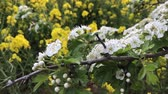 řepkový : White hawthorn flowers and flowering yellow rapeseed as background. Spring concept. Blooming branch of crataegus, quickthorn, thornapple, May-tree, whitethorn, hawberry tree in windy day. Springtime