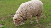 rammen : One woolly white sheep with visible orange ear identification tags grazing on green pasture at spring day. Herd of sheep on field. Flock, young sheep grazed grass. Livestock agriculture on dairy farm Stockvideo