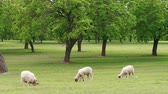 yünlü : White lambs, sheep grazing on green pasture with trees at spring day. Flock of young sheep grazed grass. Herd of sheep on field. Livestock agriculture on dairy farm. Domestic animals graze in paddock
