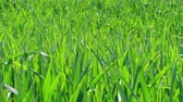 gabonafélék : Green grass under blowing breeze, wheat field at spring day. Nature background and wind before storm. Lawn ground, young wheat on field. Cereal plant, bread corn, rye, oat, rice. Grassland. Foliage
