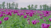 Flowering violet poppies, poppy capsules field against green trees, cloudy sky. Purple and few red flowers at windy day. Blooming medical plants with straws on farm. Blue poppy meadow in agriculture