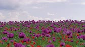 saman : Blossom of red and purple poppy field against blue cloudy sky. Flowering Papaver with unripe seed heads at windy day. Maturing blue poppy flowers with pods in agriculture. Medical plants with straws Stok Video