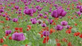 Blooming red and purple poppies with unripe seed heads and green grass on field. Grassland at windy day. Blossom of Blue poppy field. Flowering Papaver, maturing pods in agriculture. Medical plants