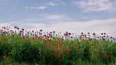 Field of blooming purple and red poppies with unripe seed heads under blue sky, beautiful grassland. Blue poppy blossom. Color concept. Flowering Papaver, maturing pods in agriculture. Medical plants