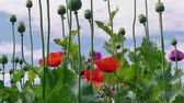 Colorful blossoming purple, red poppies with unripe seed heads under blue sky, beautiful grassland. Plant breeding, genetic modification of plants, color concept. Drug, medicinal herb in agriculture