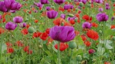 Blossoming purple and red poppies with unripe straws on farm. Plant breeding, genetic modification of plants. Drug, medicinal herb in agriculture. Color concept. Blue poppy field blooming. Flowering Stok Video