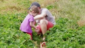 Father and daughter gathering ripe red garden strawberry to wood basket between green leaves. Family farm, gardening. Attracting child to harvesting berries at summer day. Man harvesting strawberries