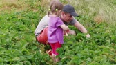 totyogó kisgyerek : Father, daughter gathering ripe red garden strawberry to basket. Family farm, gardening. Attracting child to agriculture, harvesting berries at summer day. Man, girl harvesting strawberries together Stock mozgókép