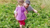 Father, daughter gathering ripe red garden strawberry to basket. Family farm, gardening. Attracting child to agriculture, harvesting berries at summer day. Man, girl harvesting strawberries together Stok Video