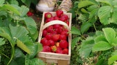 マニュアル : Person hand put down red ripe garden strawberries to wood basket in green leaves. Man harvesting berries to prickle, summer day. Agriculture. Family farm, gardening strawberry in field. Picking fruits