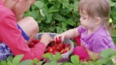 Children manually sort out ripe red garden strawberries in bucket near green leaves. Boy and girl harvesting berries at summer day. Attracting kids to agriculture, picking strawberry. Family farm Stok Video