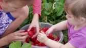 Children having fun and manually sort out ripe red garden strawberries in bucket near green leaves. Boy and girl harvesting berries at summer day. Attracting kids to agriculture, picking strawberry