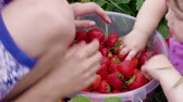 Children hands manually sort out ripe red garden strawberries in bucket outdoor, handheld shot. Boy and little girl harvesting berries at summer day. Attracting kids to agriculture, picking strawberry Stok Video