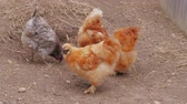 método : Fluffy Silkie chickens pecking thumbs in free range at farm. Little Chinese silk chicken hens feeding. Silkies poultry. Chicken farming with organic lifestyle. Silkie bantam dab, breeding. Farming