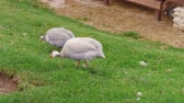 Domestic guineafowl pecking feed on green grass of in free range barnyard at poultry farm, handheld shot. Pintades breeding with organic lifestyle. Guinea fowl feeding, avian farming, plume. Gleanies