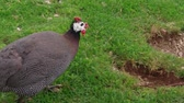 rolnictwo : Domestic guineafowl feeding on green grass in free range barnyard at poultry farm, handheld shot. One pintade breeding with organic lifestyle. Guinea fowl pecking feed, avian farming, plume. Gleanie