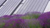 Eco roof, windows of passive house, lavender flowers at windy day. Energy-saving wall of on power efficient house, sustainable building and flowering flowerbed. Passively heated multistory building