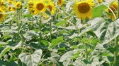 barátság : Growing blooming sunflowers on field at sunny summer day. Yellow flowers in agriculture landscape. Blossom of sunflower hearts at farm. Adoration, loyalty, long life, good fortune, happiness concept