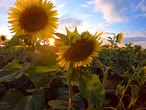 przyjaźń : Field of blooming sunflowers at sunset, blue sky with clouds, handheld shot. Yellow flowers in agriculture. Blossom of sunflower hearts at farm. Adoration, loyalty, long life, good fortune concept