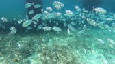 Sea bream fish school swimming fast, underwater shot in Adriatic Sea, Croatia. Diplodus annularis in Mediterranean. Seabreams shoal closeup, sea life, diving. Fishes floating. Travel vacation concept Stok Video
