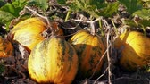 Pumpkins growing on farm, autumn agriculture, october garden at windy sunny day. Orange pumpkin growth and green leaves at wind. Autumn harvest, vegetables crop. Thanksgiving, Halloween preparation