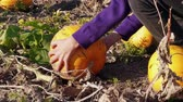 abóbora : Farmer hands pick pumpkin up, put vegetable down on farm field. Choosing pumpkins growing in garden, autumn agriculture. Fall harvesting, vegetables crop. Thanksgiving and Halloween decor preparation