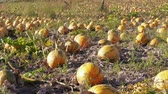 Growing ripe pumpkins ready to be harvested on farm field at autumn day. Pumpkin plants with rich harvest before harvesting. Vegetable garden, fall agriculture. Thanksgiving, Halloween preparation