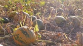 Growing ripe orange and green pumpkins on farm field at sunny day, autumn agriculture. Vegetable ready to be harvested. Pumpkin garden. Thanksgiving and Halloween preparation. Orange pumpkin growth Stok Video