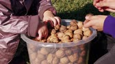 begrip : Children play with walnuts in full plastic bucket, kids hands sort nuts in garden. Harvest of ripe fruits at family farm, teen boy and little girl pick over nuts and have fun. Wisdom, growth concepts