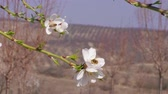 Bee pollinating almond white flower, spring, handheld. Unrecognizable people walking far away in garden. Productivity, hard worker concept. Insects gathering pollen for honey in flowering orchard