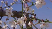 Bees pollinating almond white flowers on blossom tree branch against blue sky, spring, handheld. Productivity, hard worker, community concept. Insects gathering pollen for honey in flowering orchard