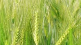 gabonafélék : Closeup unripe green wheat kernels before harvest at windy day. Beautiful cereal field in summer. Concept of rich harvest, green grass corn crop. Symbol of abundance, life, fertility. Diet concept