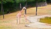 struś : Beautiful giraffe breastfeeding cup in the zoo in sunny day