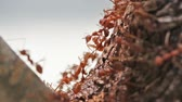 nourish : colony of red ants closeup Stock Footage