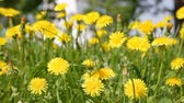 blossoming : blossoming dandelions on a spring meadow in a sunny day