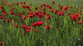 blossoming : Blossoming scarlet poppies wave on a wind
